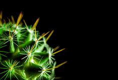 Cactus species Mammillaria on black background royalty free stock photography