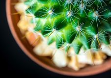 Cactus species Mammillaria on black background stock photos