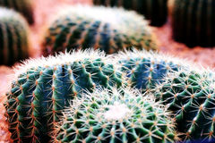 Cactus. The spherical cactus in the  park Stock Images