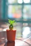 Cactus, spiderweed et verticale du soleil de soirée Photos stock
