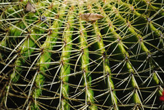 Cactus spike 2. Long cactus spikes in a small shrub Stock Photos