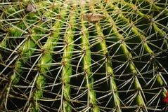 Cactus spike 2 Stock Photos