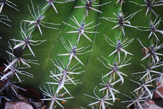 Cactus spike 3. Cactus with white points, Queens garden Stock Photography