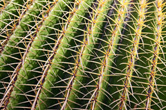 Cactus spikes Royalty Free Stock Photo