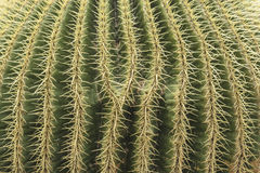 Cactus spikes green plant macro texture background Stock Image