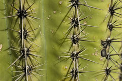 Cactus Spikes Royalty Free Stock Images
