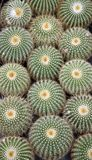 Cactus. Spiky succulent green plants with spines royalty free stock image