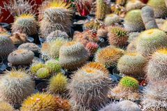 Cactus spiky succulent green plants with spines royalty free stock photography