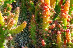 Cactus spiky succulent green plants with thorns and cobwebs stock images
