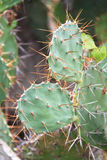 Cactus in spine del deserto Immagine Stock