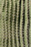 Cactus Spine Pattern. Closeup details from a saguaro cactus from the Sonora desert in Arizon. The sharp spines are nature's way of providing protection for the stock photography