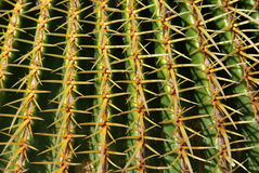 Cactus Spines Royalty Free Stock Image