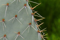 Cactus Spines. Closeup of cactus spines in Arizona Royalty Free Stock Photos