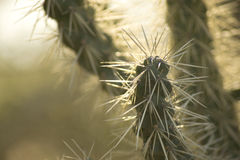 Cactus Spines Stock Photography