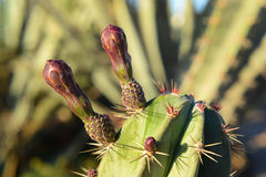 Cactus spines in Egypt desert Royalty Free Stock Images