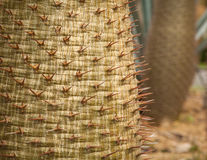 Cactus spines Royalty Free Stock Photos