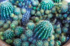 Cactus. Spiny cactus is a tropical plant in the desert royalty free stock images