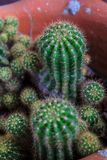 Cactus. Spiny cactus is a tropical plant in the desert royalty free stock photography