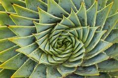 Cactus a spirale dell'aloe Fotografia Stock Libera da Diritti
