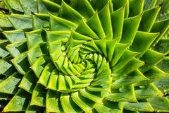 Cactus a spirale dell'aloe Immagine Stock Libera da Diritti