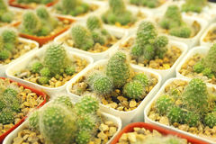 Cactus square. Many tiny cacti are placed on a shelf orderly for sale Royalty Free Stock Photography