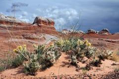 Cactus Staghorn Cholla Cylindropuntia versicolor con amarillo Fotografía de archivo libre de regalías