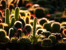 Cactus Standing behind The Sun Light. The Cactus Standing behind The Sun Light in Tree Shop royalty free stock photography