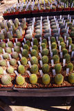 Cactus starts ready for transplanting Royalty Free Stock Photo