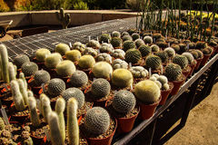 Cactus starts ready for transplanting Stock Image