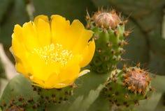 Cactus of Stekelige Peer (Vijgencactus L) Stock Afbeelding