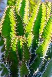 Cactus stekelige succulente groene installaties met stekels stock foto