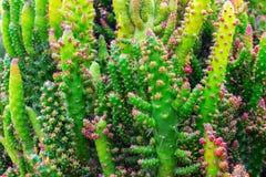 Cactus stekelige succulente groene installaties met stekels royalty-vrije stock afbeeldingen