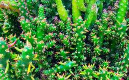 Cactus stekelige succulente groene installaties met stekels royalty-vrije stock fotografie