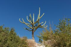 Cactus. Cactus on stony hill. South Turkey Royalty Free Stock Photography