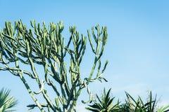 Cactus on street of Acitrezza, Catania, Sicily.  stock images