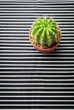 Cactus on stripe pattern. Background Stock Photography