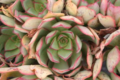 Cactus su Lanzarote Fotografia Stock Libera da Diritti