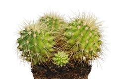 Cactus su terreno isolato su bianco Fotografia Stock Libera da Diritti