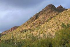 Cactus su un fianco di una montagna Fotografie Stock Libere da Diritti