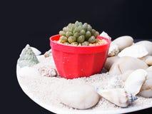 Cactus succulent Photographie stock libre de droits