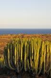 Cactus succulent d'usine sur le sec Images libres de droits