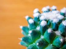 Cactus species Mammillaria gracilis cv. oruga blanca stock image