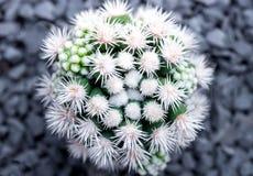 Cactus species Mammillaria vetula gracilis , Arizona Snowcap royalty free stock photography