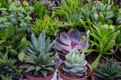 Cactus and succulent plants Royalty Free Stock Images