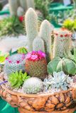 Cactus and Succulent plants on pot Royalty Free Stock Images