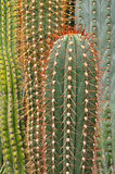 Cactus succulent Royalty Free Stock Photos