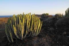 Cactus succulente della pianta sull'asciutto Immagine Stock