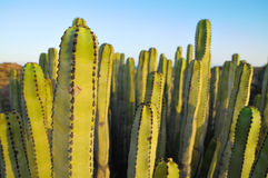Cactus succulente della pianta sull'asciutto Immagini Stock Libere da Diritti