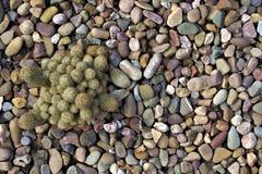 Cactus/succulente fragilis gracilis di mammillaria in giardino di rocce Immagine Stock