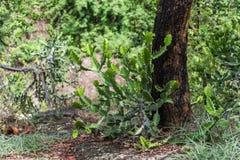 Cactus succulente installatie in bergregenwoud Royalty-vrije Stock Foto